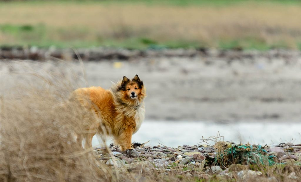 The thick coat of a Shetland Sheepdog is good at keeping out the wind.