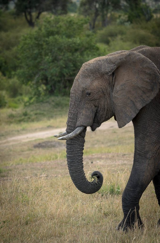 A lot of the older elephants have been hunted for their ivory leaving only the ones with smaller tusks.