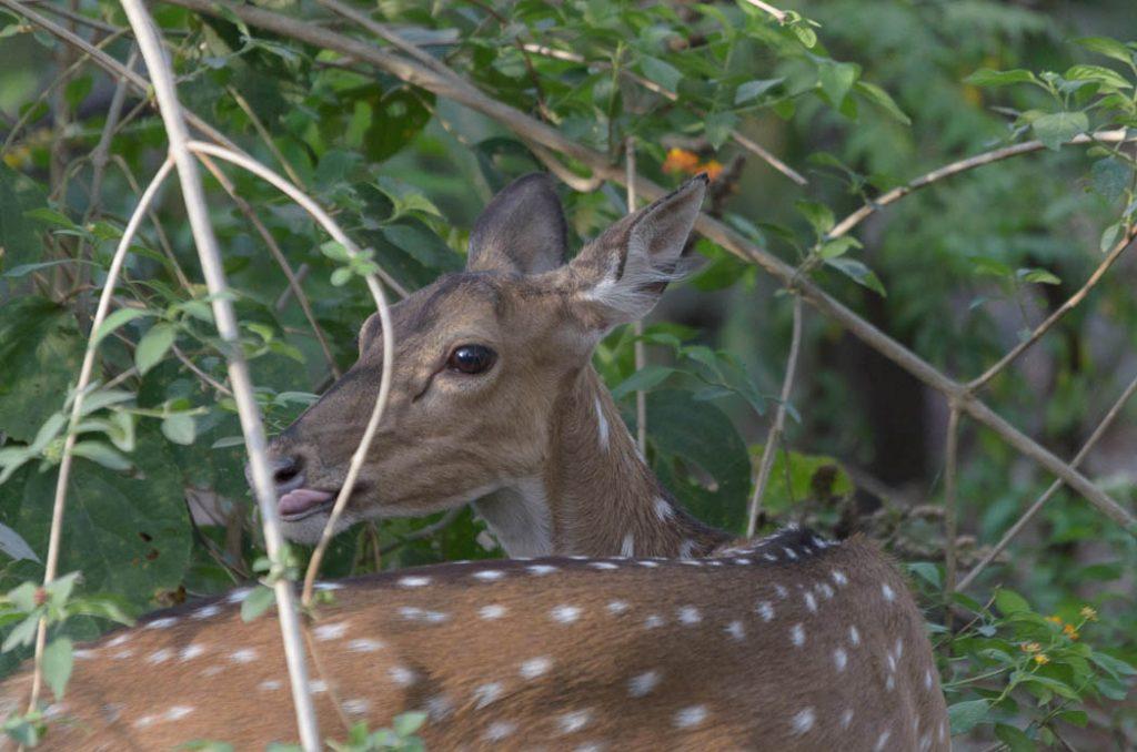 Spotted deer in Jim Corbett National Park, India.