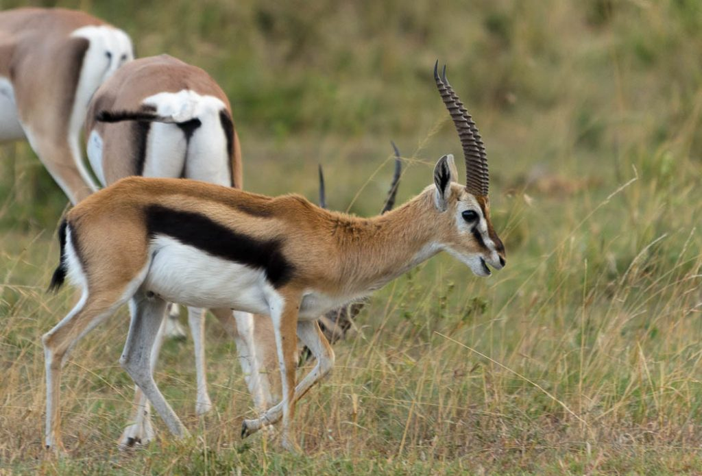 The thompson's gazelle is very common. There are about half a million searching for fresh grasses during the Great Migration.