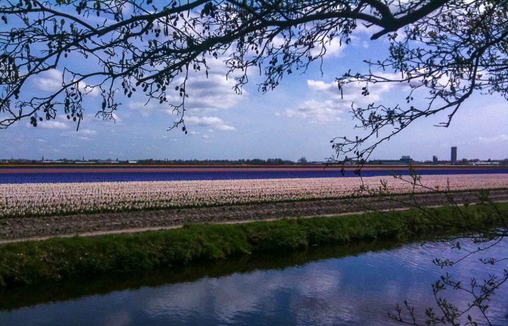 Tulips in the fields near Keukenhof in Holland in the Spring
