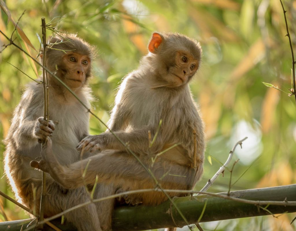 Young Macaque Monkeys in Bardia National Park, Western Nepal.