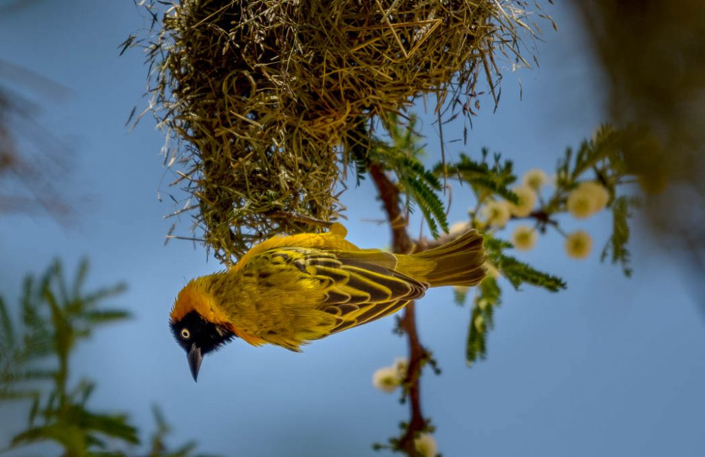 Weavers get their name from the nests they weave out of dried grasses.