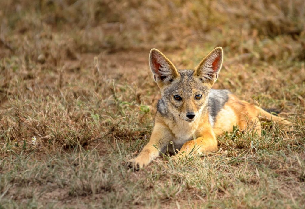 This young jackal is only a couple of months old.