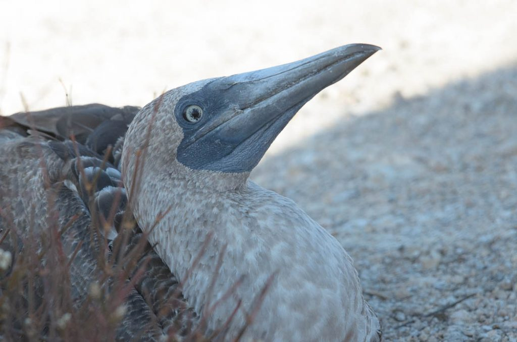 The young of the Blue-footed Booby, a bird endemic to the Galapagos Islands.