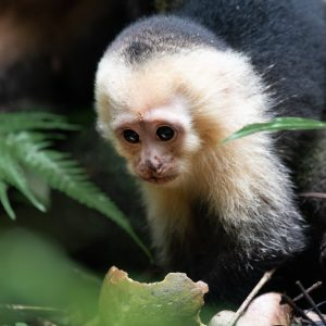 Named after the Cappucin Monks the the same way as the drink was there are people in Costa Rica who mix up the two names and so call this a cappucino monkey.