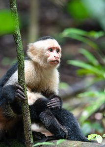 Also known as white faced monkey, the cappuchin is quite a friendly monkey and in most national parks will come and have a look to see what you are doing. However sudden movements will cause most to run off to the safer higher branches quickly.
