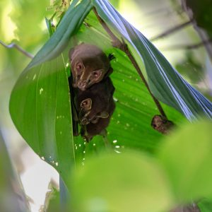 These guys get their name from the fact that the bats pull over the leaves to make a tent to protect themselves from the weather while they sleep during the day. It makes them rather difficult to see though.